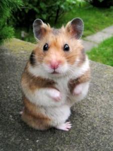 Hyper Hamster